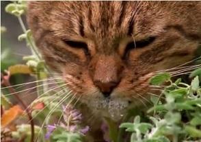 猫の大好物 キャットニップの効果と行動学について調べて驚愕した!!