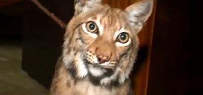 ロシアで子猫を保護したらオオヤマネコだった件・・・w