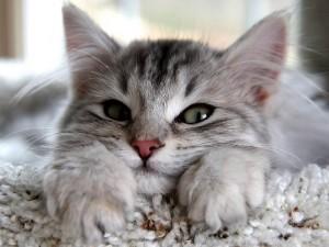 寒さに強い猫!!ノルウェージャンフォレストキャットについて解説するよ!!