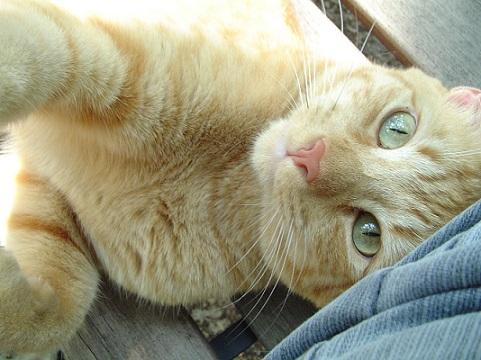 猫がゴロゴロと喉を鳴らす理由