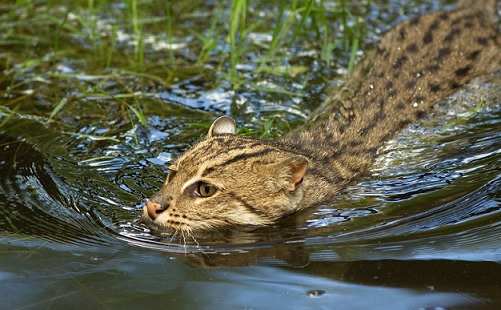 魚獲りが上手い猫!!スナドリネコって知ってる?
