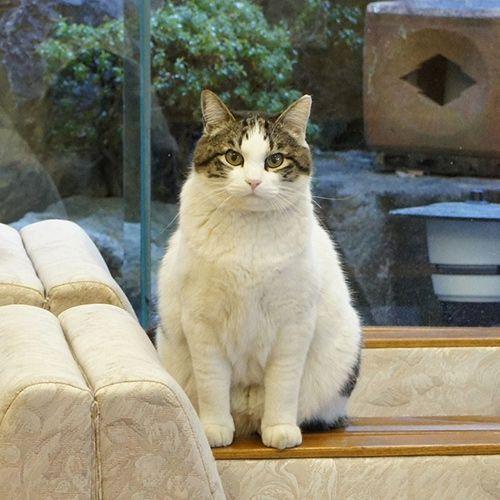 地本屋の猫_チョロ松