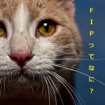 fip猫ってなに?猫伝染性腹膜炎と言う恐ろしい病気だよ!!症状や治療などを分かりやすく解説していくよ!