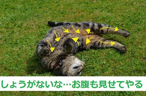 猫-毛の流れお腹まわり