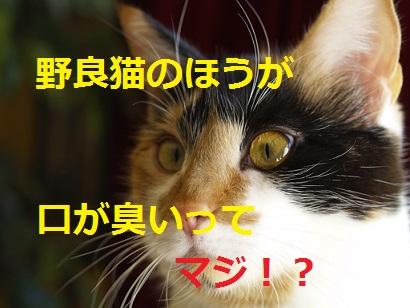 猫-野良猫のが口が臭い