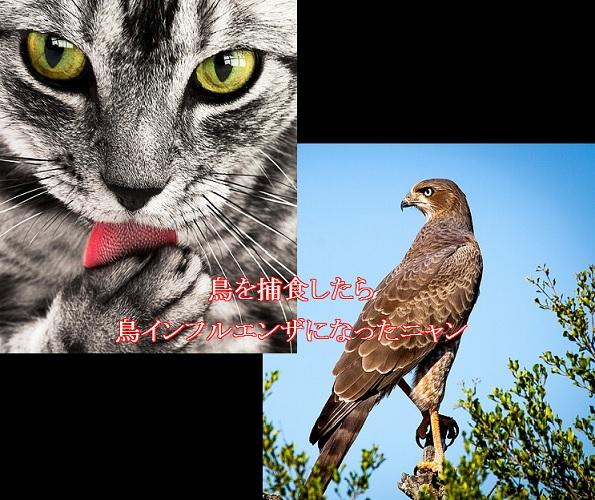 猫-鳥インフルエンザにかかる