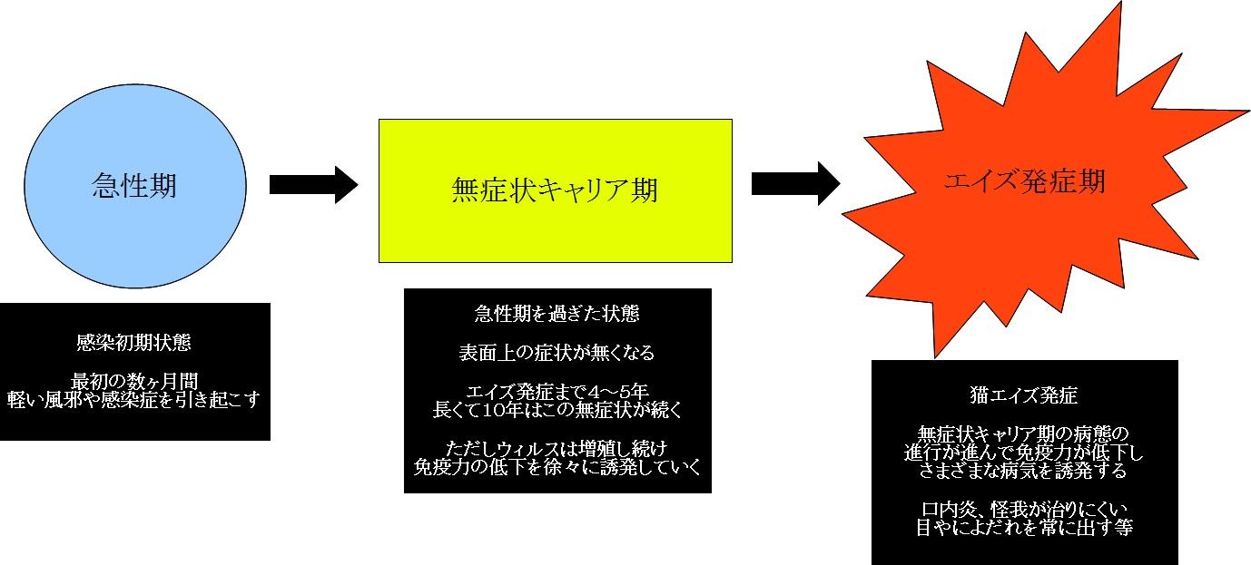 猫エイズ-発症プロセス-急性期-無症状キャリア期-エイズ発症期