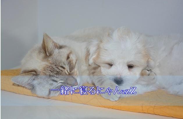 猫-認知症-夜鳴き-一緒に寝る