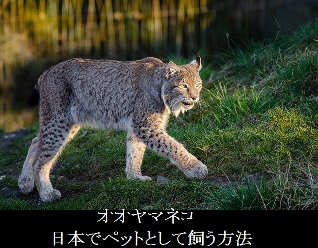 オオヤマネコー日本ーペットとして飼う方法