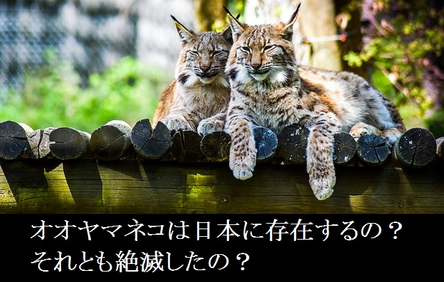 オオヤマネコー日本ー絶滅ー動物園